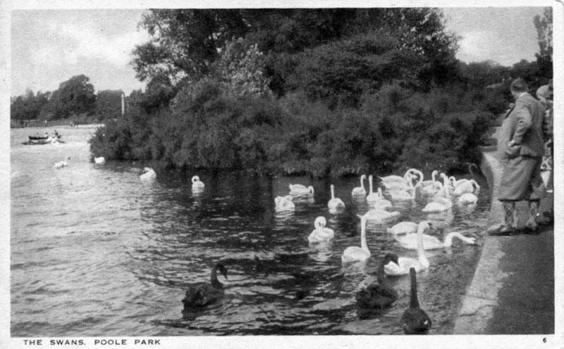 Black and White Swans Poole Park.jpg